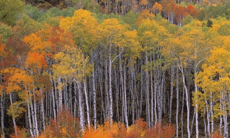 Aspens Crested Butte Colorado Gunnison National Forest